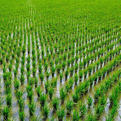 La coltivazione del Riso